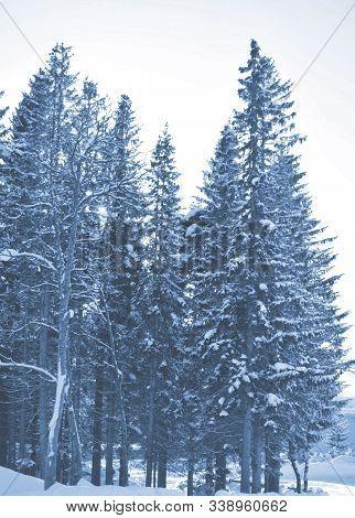 Fir Branches Classic Blue Spruce. Close Up. Branches Of Classic Blue Spruce. Winter Monochrome Natur