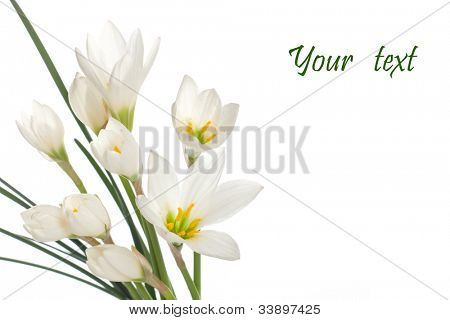 a fragment of white lilies ' bunch on a white background. zephyranthes candida poster