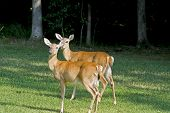 Two doe white tail deer standing in a grassy field. poster