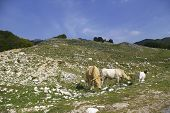 The cows in high mountain pasture in Italy poster