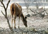 Axis deer (Axis axis) in Ranthambore National Park, India, Asia poster