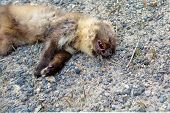 Dead ferret by the road. A predatory little animal killed by a car. poster