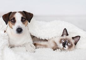Cat and dog together under white plaid. Friendship kitten and puppy. Dog and cat friends