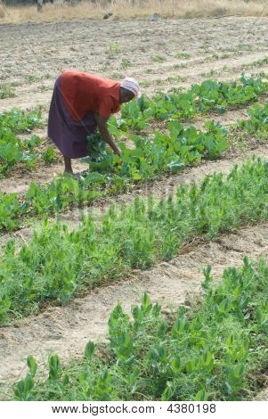 Woman Farming In Zimbabwe