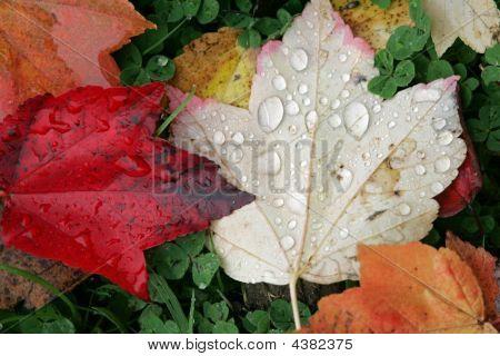 Raindrops On Fallen Leaves