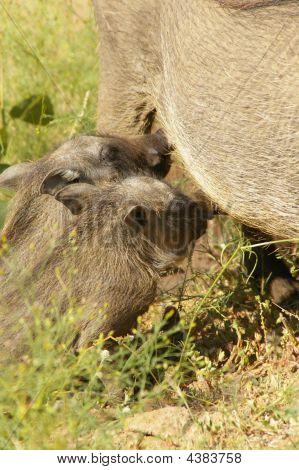 Wart-hogs