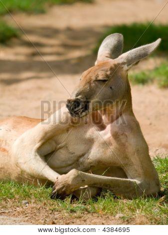 Human Looking Kangaroo