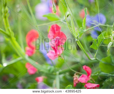 Sweet pea (Lathyrus odoratus) blooming in the garden. Very shallow DOF poster