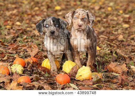 Louisiana Catahoula Puppies With Pumpkins In Autumn