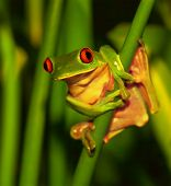 Little green frog with red eyes sitting on exotic plant, wild nature of Costa Rica, Central America, sticky red-eyed toad in the park of rain forest poster