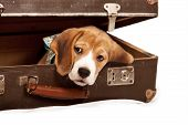 Cute beagle puppy looking out from the old suitcase poster