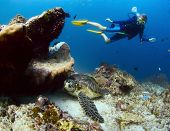 Underwater shoot of a diver watching a sea turtle ( Chelonioidea) having rest on a bottom poster