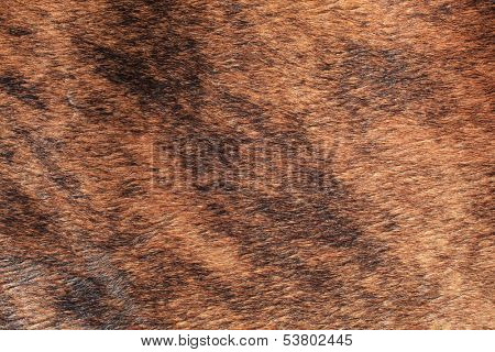 Cow skin texture background