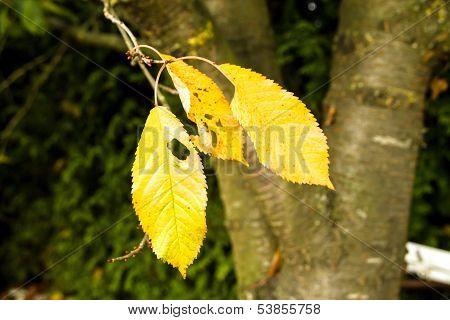 autumn tree leaf