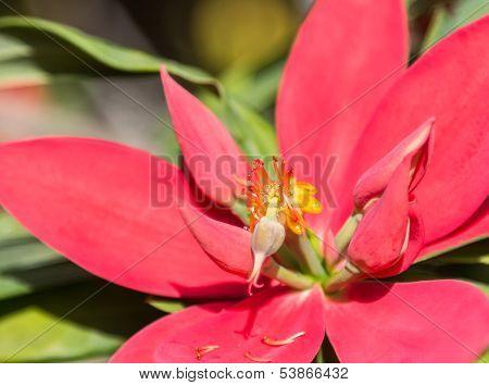Jamaican Poinsettia
