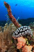 Wart Slug (nudibranch species) on coral reef underwater poster
