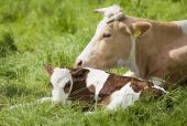 Brown and white calf with mother. Farm scenic. poster