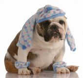 funny english bulldog dressed in winter hat scarf and leg warmers poster