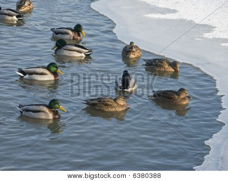 View of winter pond with swimming ducks poster