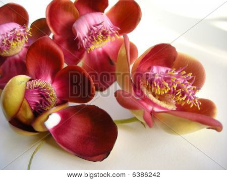 Cannonball Flower Seven