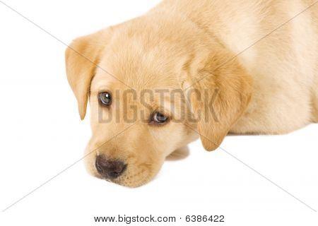 Puppy Labrador retriever with sad eyes on white background poster