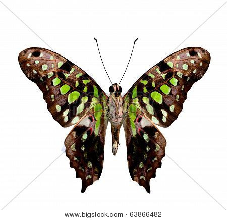 Great Tailed Jay Butterfly (graphium Agamemnon) Lower Wing Profile Isolated On White Background