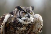Closeup of a Great Horned Owl against a blurred background. poster