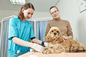 Female veterinarian surgeon worker making blood test to spaniel dog in veterinary surgery clinic poster