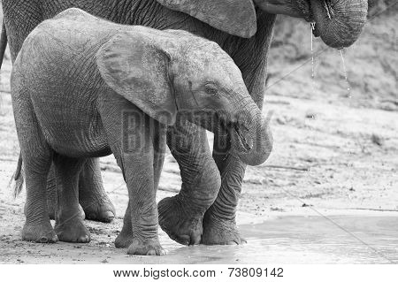 Elephant Family Drinking Water To Quench Their Thirst On Very Hot Day Artistic Conversion