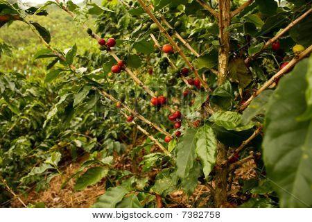 Coffee Plants To Mature