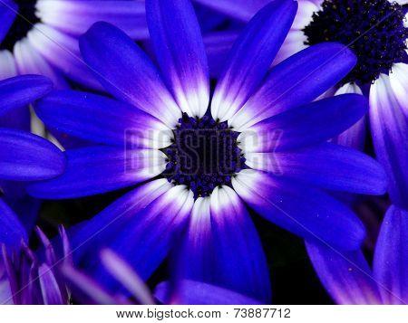 Bi-Colored Senetti Daisy