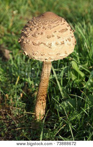 Young macrolepiota on field