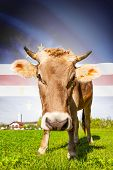 Cow with flag on background series - Cape Verde poster