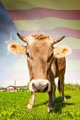 Cow with flag on background series - Catalonia poster