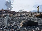 Exploring antarcticas wildlife. Man among the wild animals. poster