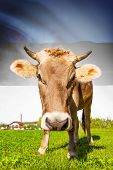 Cow with flag on background series - Estonia poster