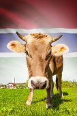 Cow with flag on background series - Gambia poster