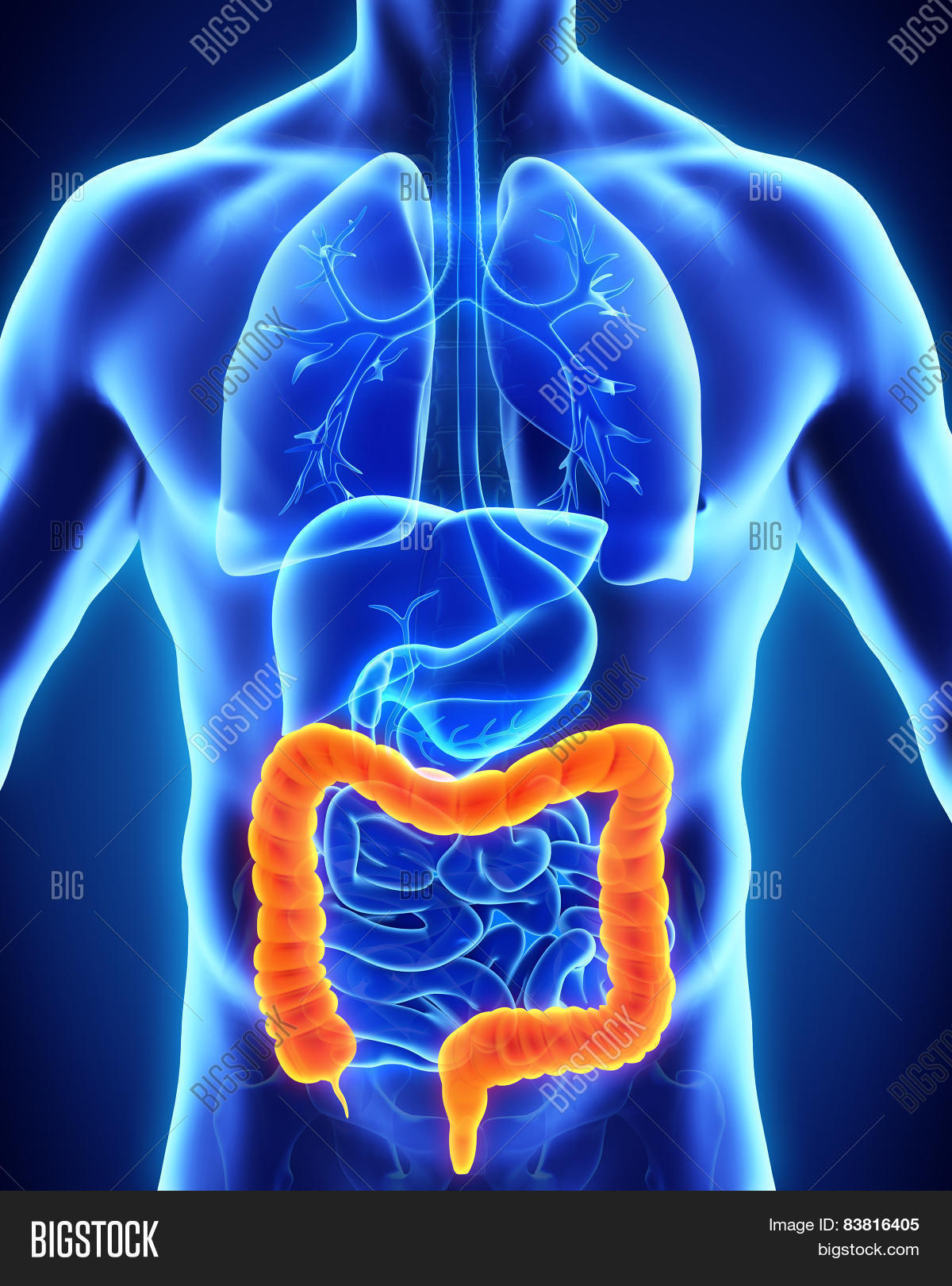 Human Colon Anatomy Image & Photo (Free Trial) | Bigstock