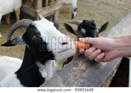 Feeding goats at the farm (zoo)