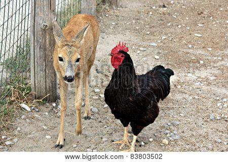 Baby deer and chicken - best friends