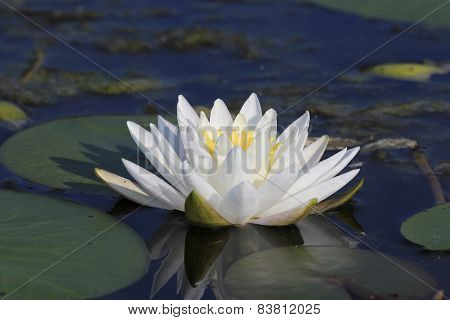 Fragrant Water Lily Blooming On A Lake