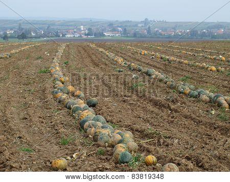 Autumn harvest of pumpkins from the field, Niederösterreich, Austria state