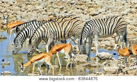 Zebra & Springbok at a waterhole