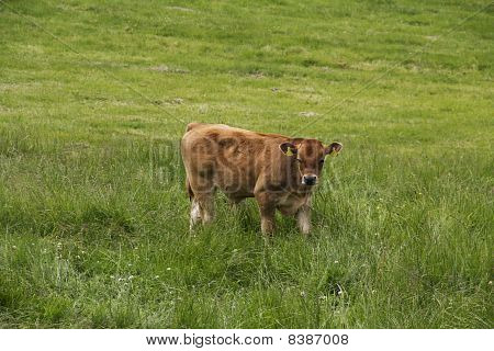 Beautiful Light Brown Calf