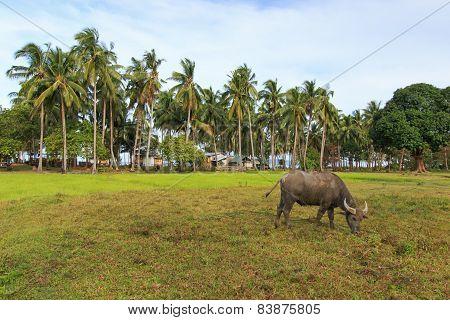 Rice Field In Palawan, Philippines, With Water Buffalo (carabao)
