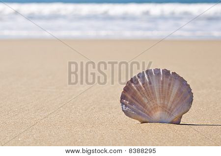 Scallop Shell In Sand.