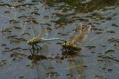 Mating Pair of Green Darner Dragonflies poster