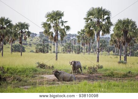 Two African Buffaloes covered in mud