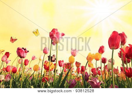 Sunny Background With Tulip Blossoms And Butterflies