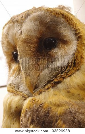 barn owl portrait taxidermy